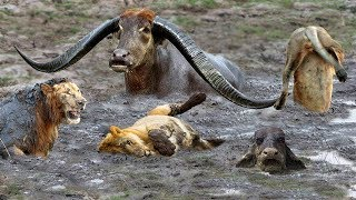 Fierce Battle Of Buffalo vs Lions - Mother Buffalo Attacks Lion To Protect Life Of Baby Buffalo