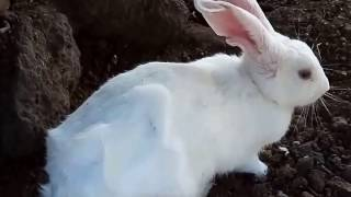 How we saved a  rabbit..from  thorns