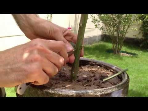 How to graft Lemon tree تطعيم شجرة الليمون