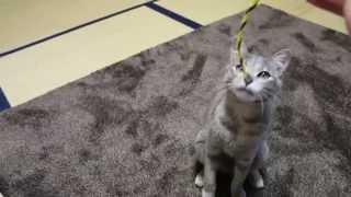 Meu gato pegando cordinha que lindo e gato ou cachorro kkk