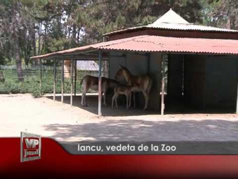 Iancu, vedeta de la Zoo