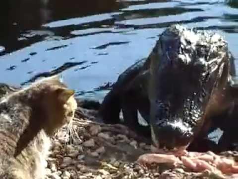 憤怒小貓嚇退鱷魚