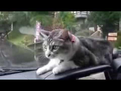 Gato ataca limpador de para brisa
