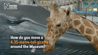 Tall order: rehousing a taxidermy giraffe
