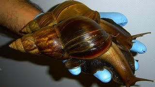 Giant African Land Snail - Invasive Species in the Us