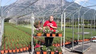 #387 Allgemeine Tipps zum Pflanzen im Blumenkasten