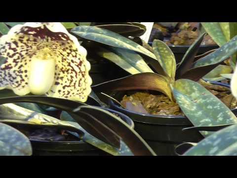 Orchideen Arten: Paphiopedilum leucochilum