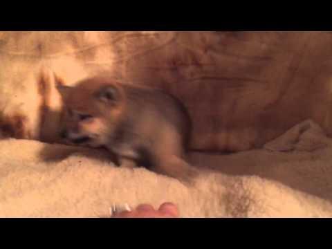 Nalo, male Shiba Inu puppy