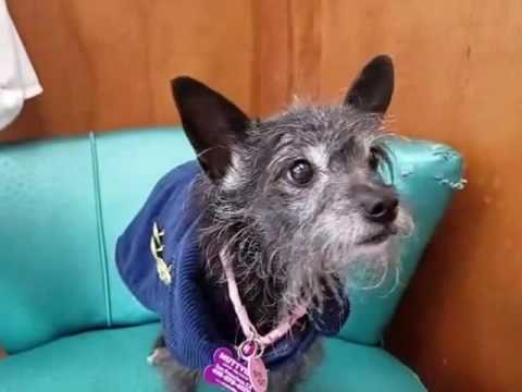 Toto, a 7 lb, 11 yr old female Terrier mix at Muttville