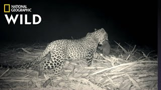 Leopard Family Reunion | Jungle Animal Rescue by Nat Geo WILD