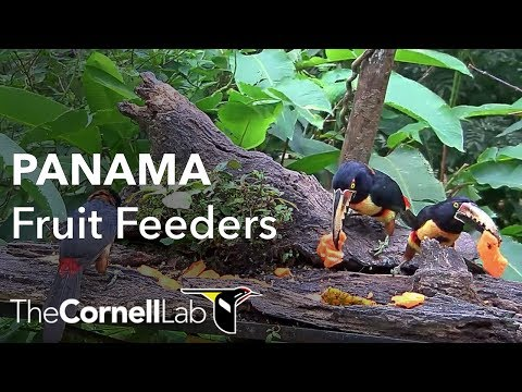 Live-Cam: Panama Fruit Feeder Cam at Canopy Lodge | C ...