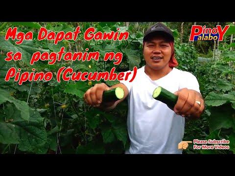 KAALAMAN SA PIPINO FARMING - Tips and techniques