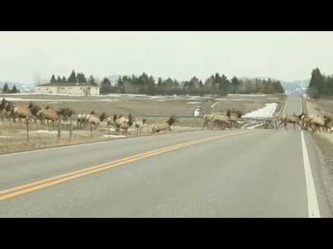 Massive herd of elk in Montana