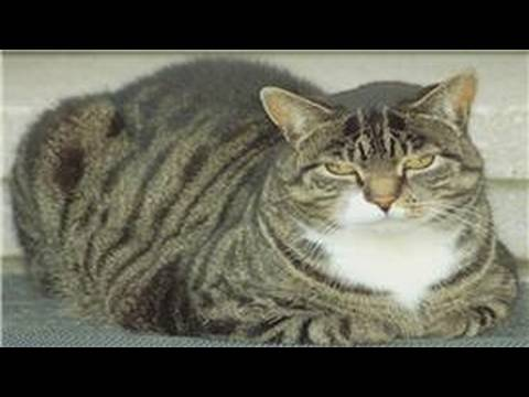 Cat Health & Care : Cat Diabetes & Vomiting