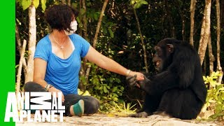 Ponso The 'World's Loneliest Chimp' Befriends Chimp Expert Estelle Raballand  | Dodo Heroes by Animal Planet
