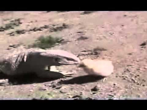 Baby Chick Fights Back Funny animal videos