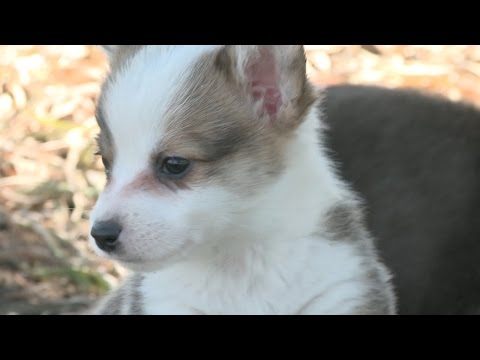 Hop - These Corgi Puppies are a playful hoppy bunch! Subscribe to The Pet Collective: http://bit.ly/tpcsub Website: http://www.thepetcollective.tv Facebook: http://www.facebook.com/thepetcollective...