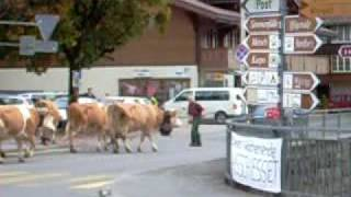 Lenk im Simmental Switzerland  city photos gallery : Cows in Lenk im Simmental