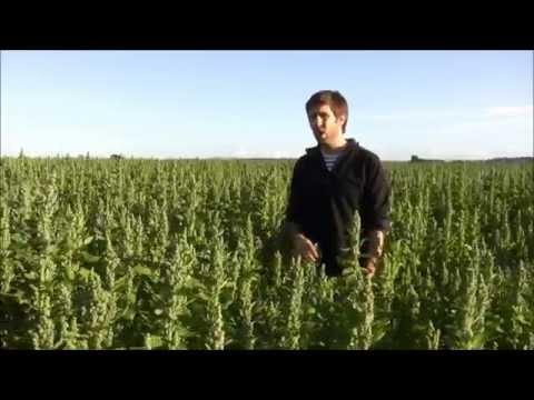 British Quinoa - 1st July 2014