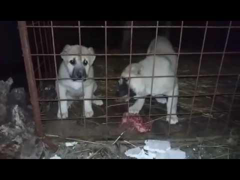 Kangal puppies, no.1  livestock guardian dog