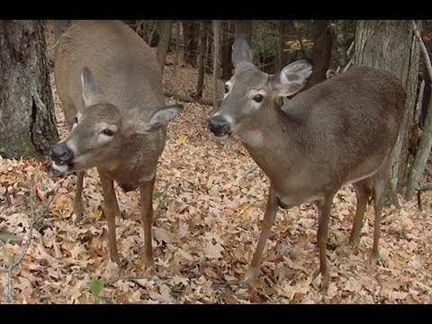 Best Tips for Managing Whitetail Does on Private Land