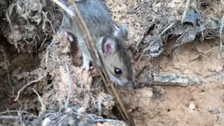 Als wir in der Wildnis gelebt haben wurden Mäuse vom Clan gegessen. Wir selbst sind Vegetarier geblieben. Aber Schlangen, Eichhörnchen, Frösche, Ameisenlarven und Streifenhörnchen (und eben Mäuse) wurden selbst gefangen und verspeist.Denn Mäuse zu fangen ist nicht schwer. Man muss dazu keine Katze sein :-)Ich habe diese Maus nur beobachtet.Kannst Du Dir vorstellen eine Maus zu essen?Lies unsere Geschichte, wie wir in der Wildnis gelebt haben:http://bit.ly/2jHhin6Immer wieder werden wir von lieben Menschen gefragt, wie sie uns unterstützen können. Danke! Denn Du machst es möglich, dass wir unseren Youtube Kanal ausbauen können und gewährleistest damit, dass wir die Möglichkeit haben, weiterhin Videos zu machen. DANKE!Wir freuen uns immer über Spenden überPaypal ► wildnisfamilie@gmx.deoderUnterstütze uns hier - danke!!!► https://www.patreon.com/wildnisfamilie#-#-#-#-#-#-#-#-#-#-#-#-#-#-#-##-#-#-#Besuche uns auf:Facebook ► https://www.facebook.com/wildnisfamilie/Instagram ► https://www.instagram.com/wildnisfamilie/Website ► https://wildnisfamilie.net/Podcast ► https://wildnisfamilie.net/podcast/Unseren Shop ►  https://wildnisfamilie.net/shop/#-#-#-#-#-#-#-#-#-#-#-#-#-#-#-##-#-#-#* = Links, die mit '*' kennzeichnet sind, sind sogenannte Affiliate-Links. Kommt über diesen Link ein Einkauf zustande, werden wir mit einer Provision beteiligt.Für Dich entstehen dabei selbstverständlich keine Mehrkosten.Danke für Deine Unterstützung!*Kamera ► http://bit.ly/canon-legria-mini-x-black **Iphone ► http://amzn.to/2fIlAJM**Mac Book Pro ► http://amzn.to/2eYTRDs*Wir lieben und nutzen folgende Dinge:*SmoothieMaker ► http://amzn.to/2eYVCQX**Dörr Gerät ► http://amzn.to/2eYWFAs*Inspirierende Highlight Bücher für uns:* Johannes ► http://amzn.to/2e60tR0* Auf der Suche nach dem verlorenen Glück ► http://amzn.to/2e616do*Das Geräusch einer Schnecke beim Essen ► http://amzn.to/2fzfegqBewährte Kleidung:*Icebreaker ► http://amzn.to/2fzfpbA
