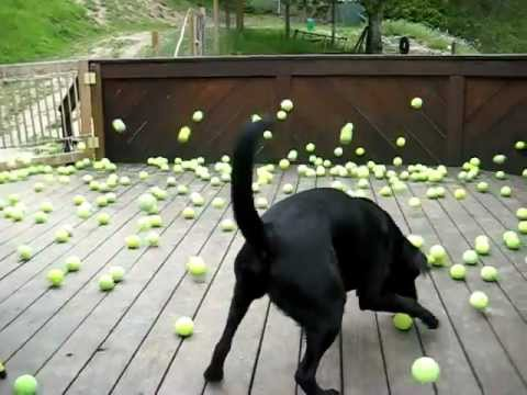 tennis balls - ABOUT THE VIDEO: Our black lab LOVES tennis balls. His dream came true when a local tennis instructor gave us 300 used tennis balls. 