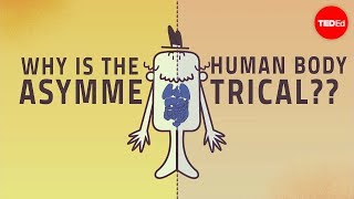 Why are human bodies asymmetrical?