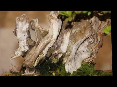 CLUB BONSAI LLEIDA video fotos exposición de bonsai en MIRALCAMP 2017