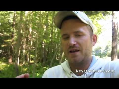 polypore - Learn more at http://www.keystoneherbs.com In this video you can see True Tinder Fugus or Birch Polypore (Piptoporus Betulinus) along side of the road in Pen...