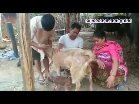 (बाख्राले पनि लिन थाले सुरक्षित प्रशुति सेवा: Goat Operation...2 min  58 sec)