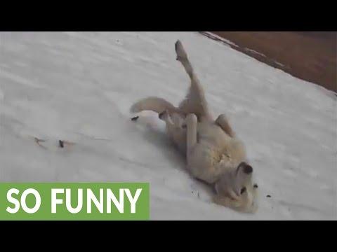 Pienikin määrä lunta riittää tälle koiralle – laskee mäkeä selällään
