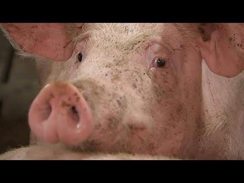 Schweinepest hat Belgien erreicht - Ausbreitung sol ...
