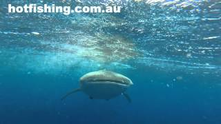 Bermagui Australia  city photos : whale shark Bermagui NSW Australia