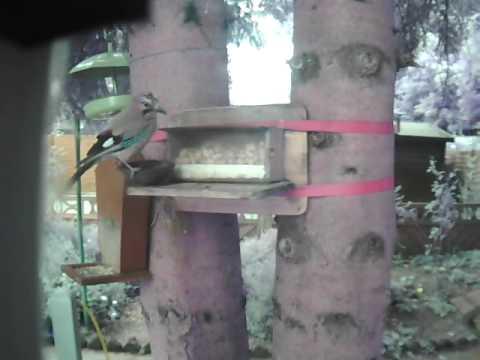 Eichelhäher versucht Nüsse aus dem Eichhörnchenhaus zu klauen