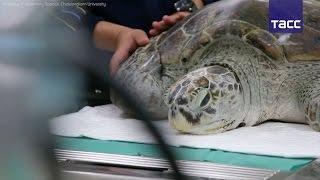 В Таиланде умерла морская черепаха, проглотившая более 900 монет