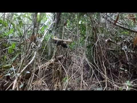 Tham bây được mèo rừng khủng