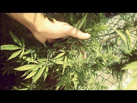 Cây Cần Xa 5 tháng đả nở búp đều và thơm ngát