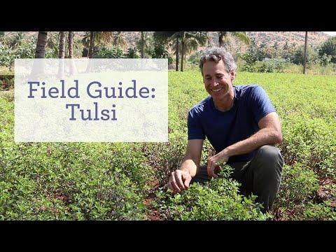 Tulsi, the Sacred Plant
