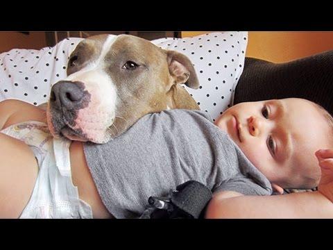 pit bull: un cane che mette paura ma non sempre è così