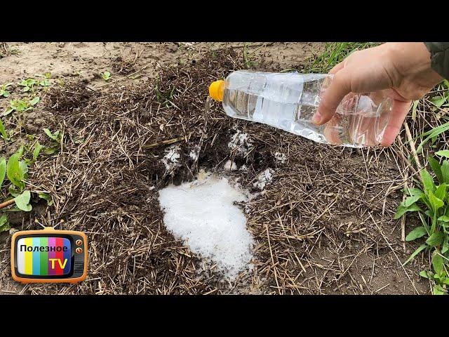 Как выгнать муравьев из огорода без химии народным средством