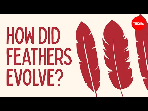 Carl - View full lesson: http://ed.ted.com/lessons/how-did-feathers-evolve-carl-zimmer To look at the evolution of modern bird feathers, we must start a long time a...