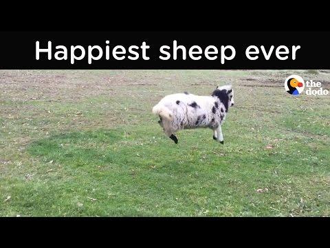 Tällä lampaalla on vauhti päällä – Onnellinen otus