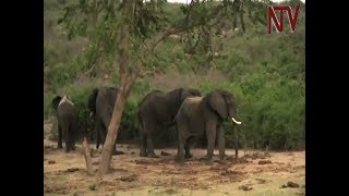 Seven districts surrounding Queen Elizabeth National Park received a total of 929 million shillings as mandatory community contributions by each National Park. However, the communities capacity to write out the projects to which the funds must go remains a challenge besides accountability according to the management of Uganda Wildlife Authority.Subscribe to Our ChannelFor more news visit http://www.ntv.co.ugFollow us on Twitter http://www.twitter.com/ntvugandaLike our Facebook page http://www.facebook.com/NTVUganda