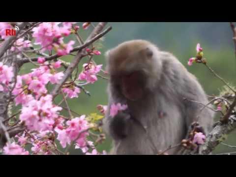 Affen auf Nahrungssuche: Kirschblüten auf dem Wuling-Bauernhof locken