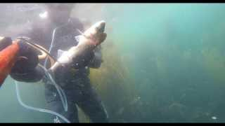 Guernsey United Kingdom  city photo : Guernsey UK Spearfishing Bass and Mullet