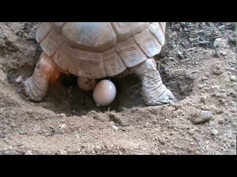 Tortoise Laying Eggs