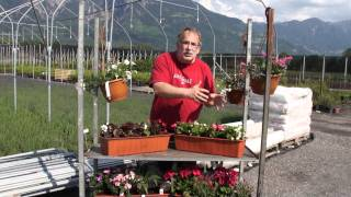 #399 Friedhofspflanzen - Bepflanzung für alle Expositionen (Begonia semperf