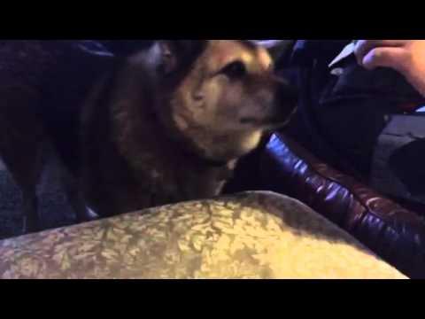 Buddy the elkhound