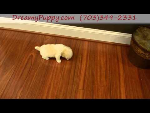 Adorable Toy Poodle Boy Puppy!